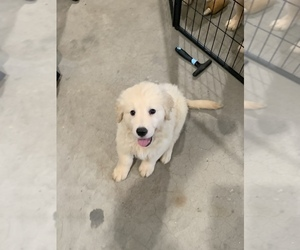 Golden Retriever Puppy for Sale in SPG VALLEY LK, California USA