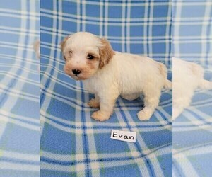 Maltipoo Puppy for sale in HOPKINSVILLE, KY, USA