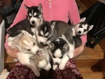 Siberian Husky Puppy For Sale in STATEN ISLAND, NY