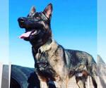 Small Photo #1 Dutch Shepherd Dog Puppy For Sale in SIERRA VISTA, AZ, USA