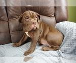 Small #6 Olde English Bulldogge