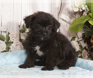 Shorkie Tzu Puppy for sale in PENNS CREEK, PA, USA