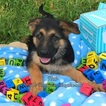 German Shepherd Dog Puppy For Sale in MIAMI, FL,