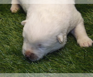 Akita Puppy for Sale in ROLLA, Missouri USA