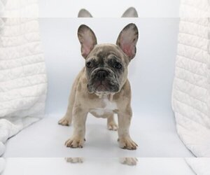 French Bulldog Puppy for sale in BENTLEYVILLE, OH, USA
