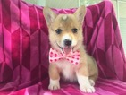 Pembroke Welsh Corgi Puppy For Sale in PORT DEPOSIT, MD,