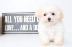 Poodle (Toy) Puppy For Sale in NAPLES, FL,