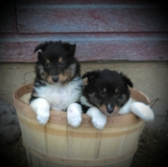 Shetland Sheepdog Puppy For Sale in ROCK RAPIDS, IA