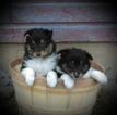 Male Sheltie Puppy