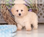 Poodle (Toy) Puppy For Sale in MOUNT VERNON, OH, USA
