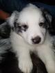 Australian Shepherd Puppy For Sale in GASTON, SC, USA
