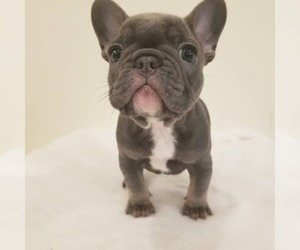 French Bulldog Dog for Adoption in BAKERSFIELD, California USA