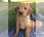 Puppy 5 Bernedoodle-Goldendoodle Mix