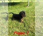 Puppy 2 Beagle-Unknown Mix