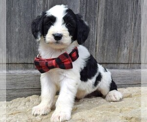 Sheepadoodle Puppy for sale in COSHOCTON, OH, USA