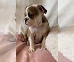 Small #16 English Bulldog