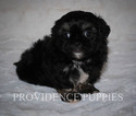 Poodle (Toy)-Shih Tzu Mix Puppy For Sale in WAYLAND, IA, USA