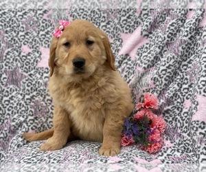 Golden Retriever Puppy for Sale in CEDAR LANE, Pennsylvania USA