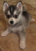 Kolu Huskies Similar to The Klee Kai And Pomsky