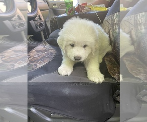 Golden Retriever Puppy for sale in MADISON, TN, USA