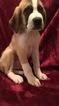 Saint Bernard Puppy For Sale in NEOSHO, MO,