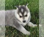 Small #13 Alaskan Klee Kai