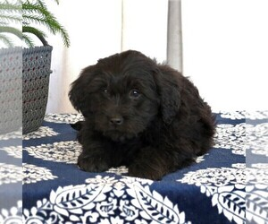 Goldendoodle (Miniature) Puppy for sale in GORDONVILLE, PA, USA