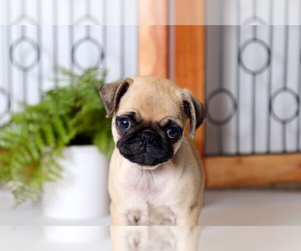 View Ad: Pug Puppy for Sale near Italy