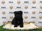 Maltipom Puppy For Sale in TEMPLE CITY, CA