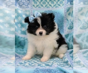 Pomeranian Puppy for sale in QUARRYVILLE, PA, USA