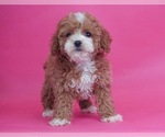 Puppy 13 Poodle (Toy)