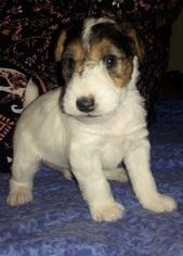 View Ad: Wire Fox Terrier Puppy for Sale, California, HESPERIA, USA
