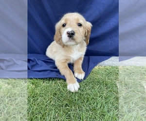 English Setter-Goldendoodle Mix Puppy for Sale in PELZER, South Carolina USA