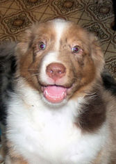 Australian Shepherd Puppy For Sale in WOODINVILLE, WA