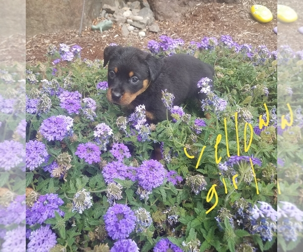 View Ad: Rottweiler Puppy for Sale near Washington