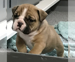 Small #7 Bulldog