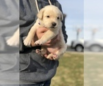 Small #4 Goberian-Golden Labrador Mix