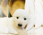 Small #32 Great Pyrenees