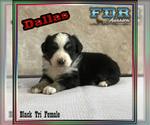 Dallas Mini Black Tri Female Aussie
