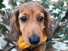 Dachshund Puppy For Sale in QUARRYVILLE, PA,