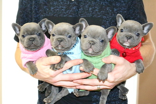 Puppies For Sale In Bulldog State French Washington