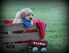 Goldendoodle Puppy For Sale in SQUAW VALLEY, California,
