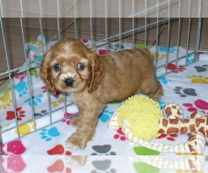 Cocker Spaniel Puppy for Sale in ORO VALLEY, Arizona USA