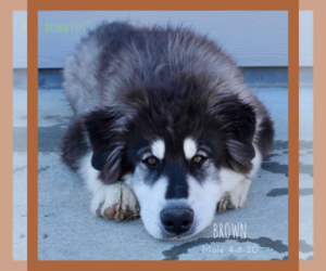 Siberian Husky Dog for Adoption in COLORADO SPRINGS, Colorado USA