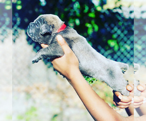 Cane Corso Puppy for sale in HOUSTON, TX, USA