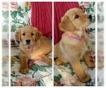 Golden Retriever Puppy For Sale in EDELSTEIN, IL, USA