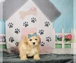 Puppy 9 Zuchon
