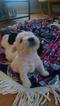 Schnauzer (Miniature) Puppy For Sale in AUBURNDALE, FL, USA