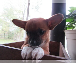 Chihuahua Puppy for sale in TOLEDO, OH, USA