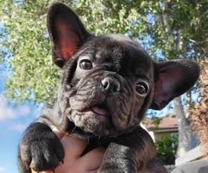 French Bulldog Dog for Adoption in REDLANDS, California USA